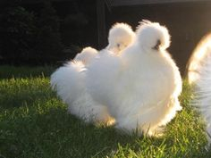 Keeping Silkie Chickens as Pets is a rewarding experience, as reported by many long-time chicken owners. Read on to learn more...