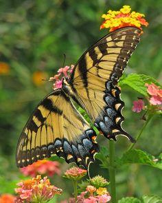 Eastern tiger swallowtail female in lantana