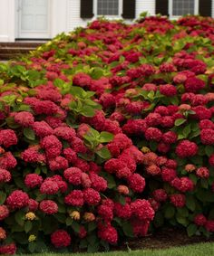 Another great find on #zulily! Red Sensation Hydrangea - Set of Two by Cottage Farms Direct #zulilyfinds