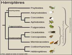 L'ordre des hémiptères était traditionnellement subdivisé en deux sous-ordres : les homoptères (cigales, cicadelles, pucerons, cochenilles, etc.) et les hétéroptères (punaises). Cette différenciation était basée sur la structure des ailes et la position du rostre. L'ordre est maintenant divisé en au moins 5 sous-ordres, après qu'il a été établi que les familles regroupées dans le taxon homoptera constituaient un groupe paraphylétique.