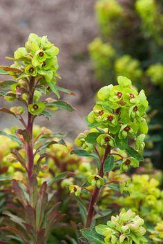 Euphorbia x martini 'Tiny Tim'