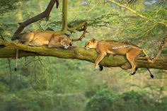 A couple of female lions escaping the mid afternoon heat and bugs snoozing away on a giant eucalyptus brand at Lake Nakuru in Kenya Africa. I'm in Africa the month of August teaching two Aperture Academy workshops with friend and fellow instructor Scott Davis.   by Stephen Oachs