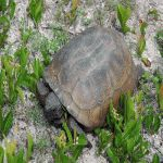 Gopher tortoise, Space Coast Birding and Wildlife Festival in Titusville, Florida (photo credit Jay Becker)