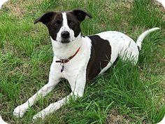 Chandler, AZ - Border Collie Mix. Meet Jersey, a dog for adoption. http://www.adoptapet.com/pet/17619018-chandler-arizona-border-collie-mix