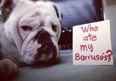 Young female bulldog:)