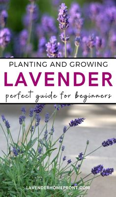 Learn basic planting and care of the flowering herb lavender with this great beginners guide. Lavender can be a beautiful and hardy perennial plant, and with the right growing conditions can come back year after year. Add it to landscaping or use it in the garden as a companion plant. This beautiful herb is perfect for beginner gardeners. #gardeningtips #landscaping #herbgarden #beginnergardening