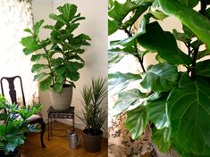 """Brooklyn Plantology partnered with their talented friends at Decorilla on this post about the ever enduring """"it"""" house plant- The Fiddle Leaf Fig! Learn about care, tips and selection. Fiddle Leaf Fig, Edible Plants, Plastic Pots, African Beauty, Plant Care, Houseplants, Plant Leaves, Eyes, Brooklyn"""