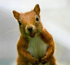 There are lots of squirrel like mammals like the ground hog, gopher as well as prairie dog. When it comes to foods, what do squirrel love to eat? Happy Squirrel, Squirrel Girl, Cute Squirrel, Squirrels, Animals And Pets, Baby Animals, Funny Animals, Cute Animals, Animal Pictures