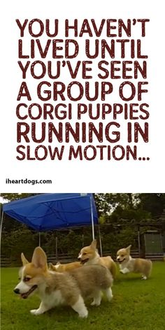 You Haven't Lived Until You've Seen A Group Of Corgi Puppies Running In Slow Motion! :)