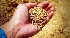 Organic Rice Crop Yields Debunk Myth GMOs Are Needed To Feed The World http://news.organicfoodmaps.com/Vc  More news organicfoodreport.com #news #organic #food #gmo