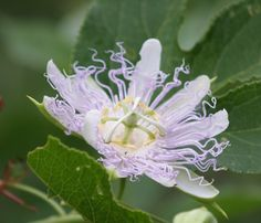 Passion flower. Growing wild in an Oklahoma meadow.