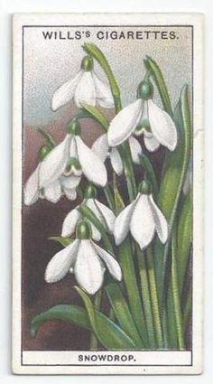 WILLS-GARDEN-FLOWERS-CARD-40-SNOWDROP-ACIO