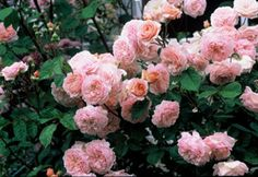 Antique Rose Emporium, Brenham Texas.  THE ANTIQUE ROSE EMPORIUM IS THE RECIPIENT OF THE GREAT ROSARIAN GARDEN HALL OF FAME FOR 2011  Rose pictured is: Abraham Darby