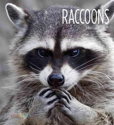 A look at raccoons, including their habitats, physical characteristics such as their facial masks, behaviors, relationships with humans, and their hunted status in the world today.