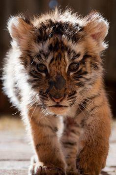 Bengal Tiger Cub.