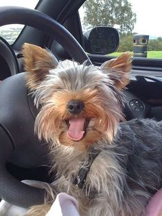 My Yorkshire terrier someday