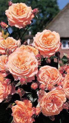 Belvedere®. Een roos met een gezonde, krachtige groeiwijze. De bloemen zijn opvallend groot en sterk gevuld. De bloemen zijn geurend en staan op lange stelen en hebben een van oranje tot perzik verlopende kleur. De bloemen zijn lang houdbaar. Belvedere® heeft gezond glanzend, donkergroen loof.