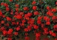 Krásných květů na muškátech dosáhnete použitím následujícího návodu na super hnojivo. Rozdrobte do v
