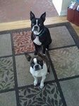 My Boston Terriers...if you live in the Memphis area & you love Bostons, Big Momma has a perfect pup for you! Check out her website.
