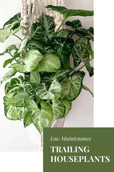 The 10 best trailing and climbing houseplants that are easy to grow. How to care for them and display ideas. #indoortrailingplants #indoorclimbingplants #trailinghouseplants #trailingindoorplants #wallhangingplants #lowmaintenanceplants #easyindoorplants
