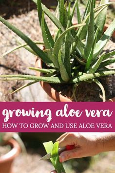 Every house should have an aloe vera plant if you ask me. There is no other plant that will give you so much for so little care! In this post, we'll talk about everything that you need to know about growing aloe vera… Where you can get an aloe vera plant, how to plant aloe vera, care for the plant, how to harvest, and how to use it. Herb Gardening, Container Gardening, Growing Herbs In Pots, Growing Aloe Vera, Backyard Farming, Herbs Indoors, Natural Health Remedies, Plant Care, Compost