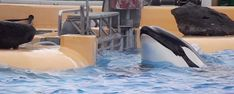 Exclusive: Shocking Footage of Orca Panicking in Medical Pool