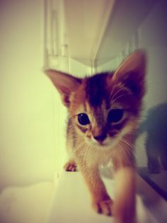 My pet !! Name is ADL!! Abyssinian Cat baby~ :)