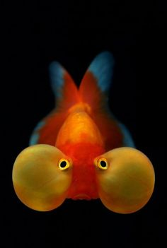 """An All-Time Favorite of Mine"".....the Bubble Eye Goldfish: a fancy dorsal-less fish with upward pointing eyes that are accompanied by two large fluid-filled sacs. I think they're so cute and fun to watch! ♥•‿•"