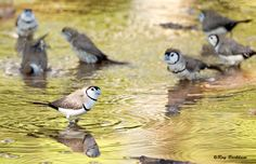 Wild Black Rump Owl Finches taking a morning bath at Cape Crawford, NT Australia