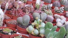 Esposizione alla festa di s.alfio...anche le piante grasse hanno un cuore!