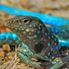 ARUBA WHIPTAIL LIZARD (or Kododo blauw) (Cnemidophorus arubensis) crotalinae:  lickystickypickyme:  These run around in the garden all the time and I usually hate them. But like this, all posed for the picture they look pretty. picture by G. Peterson  I'm not sure what it is, but it is gorgeous… does anyone know what species this is?