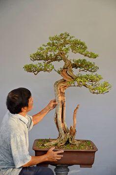 Bonsai, Twin-trunk style (Sokan).