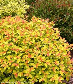 Double Play Big Bang Spirea Shrubs for Sale Fast Growing Privacy Shrubs, Shrubs For Privacy, River Rock Landscaping, Large Backyard Landscaping, Landscaping Ideas, Mosaic Flower Pots, Mosaic Garden, Mosaic Pots, Pebble Mosaic