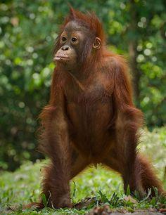 Maybe I should shave List Of Animals, Animals And Pets, Baby Animals, Cute Animals, Baby Orangutan, Chimpanzee, Save The Orangutans, Types Of Monkeys, Mountain Gorilla