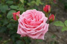 Rosa Coral Dawn