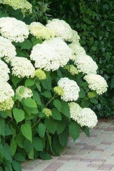 Hortensia Annabelle, Hydrangea Arborescens Annabelle, Annabelle Hydrangea, Hortensia Hydrangea, Hydrangeas, Magic Garden, Border Plants, Garden Borders, Landscaping Plants