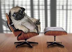super cute pug in an Eames chair