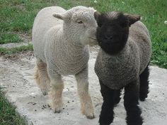 Black Sheep Farm Olde English Babydoll Sheep and Nigerian Dwarf Goats