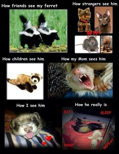 How I see my ferrets