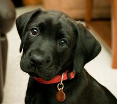 Black Lab Puppy! Just so cute!!