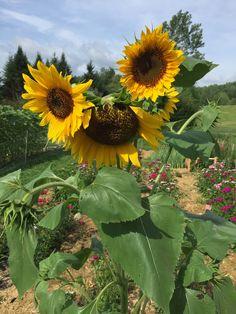 All Hail the Sunflower King! Sunflower Garden, Sunflower Flower, Sunflower Fields, Diy Wall Painting, Sunflower Wallpaper, Photo Reference, Horticulture, Watercolor Flowers, Sun Flowers