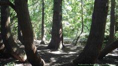 Dans les jardins du Château de La Malmaison, un bosquet cache une assemblée d'arbre qui semble tenir conseil....