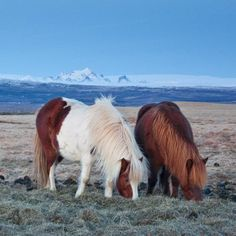 From the book ICELAND SO QUIET Pony, Native Country, Icelandic Horse, Horse Portrait, Most Beautiful Animals, Palomino, The Book, Portraits, Pairs