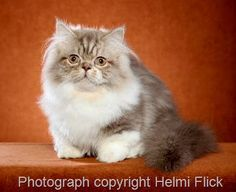 Napoleon Cat Picture | Best Pictures of Cats and More