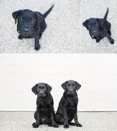 Frasier and Niles – Melbourne dog photographer Labradors, Dog Photography, Cuddling, Kitty, Puppies, Cats, Animals, Cuddle Cat, Gatos