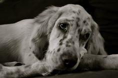 Iron ~ English Setter Pup ~ Classic Look & Trim