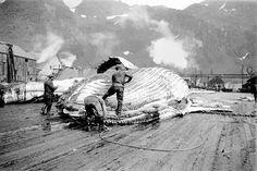 Her er man i full gang med å partere en hval på landstasjonen i Sør-Georgia.