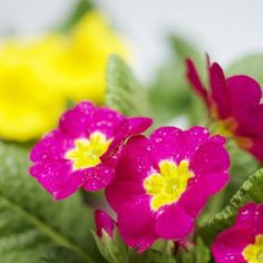 Primroses can be cultivated as annuals or perennials.