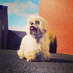 Lwong lwegs #cutedogs #lovemydog #cute #lhasalove #lhasaapso #lovemylhasa #dogs #lhasasofinstagram #lhasasrule #worldofdogs #dogsofinstagram #lhasa #cutepooch #fluffydogs #smalldogs #adorable  Photo By: rustyandjorja  http://bit.ly/teacupdogshq