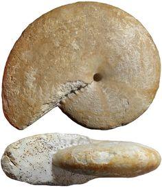 Extinct, Ammonite, Geology, Rocks, Gemstones, Plants, Animals, Gardening, Animal Anatomy